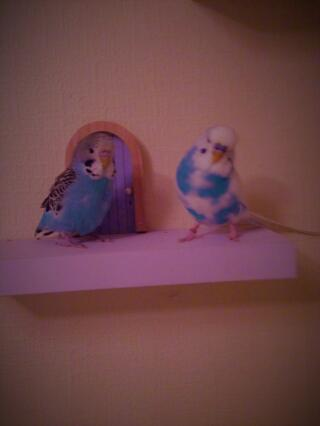 These are my budgies, Blue and Milo. Blue is in the right and Milo is on the left.