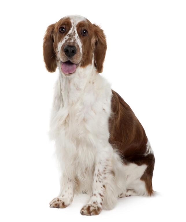 Springer Spaniel (Welsh) | Dogs | Information om racer | Omlet